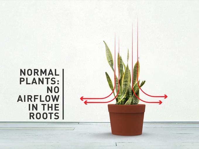 clairy-root.jpg